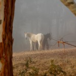 Horses in the first mist March 2012