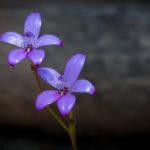 Purple Enamel Orchid - Oct2015-3